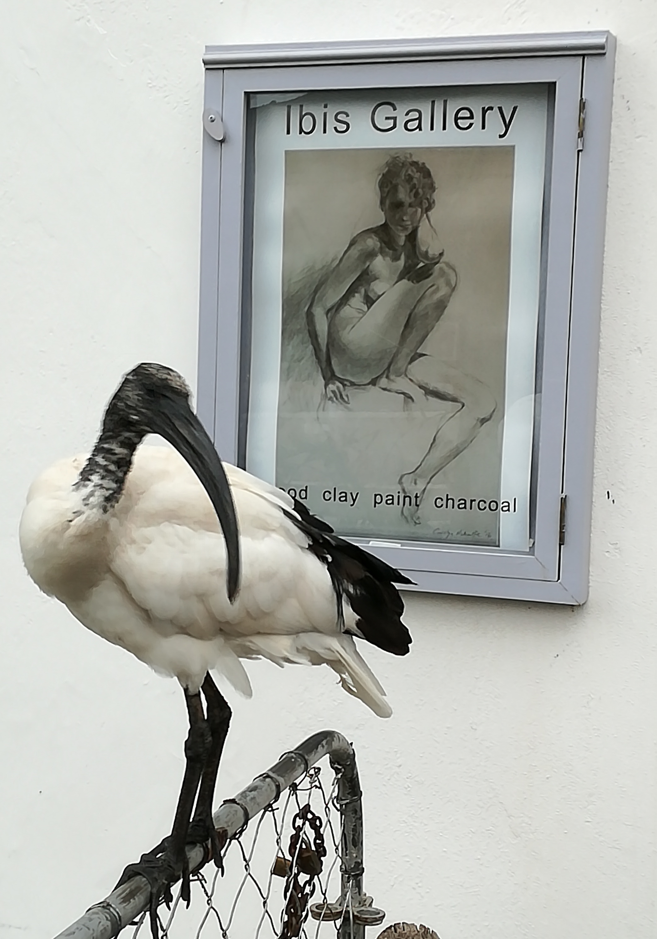 Turkey the Sacred Ibis. An orphan from the past breeding season who lives in and around the gallery