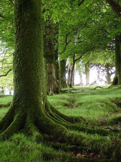 Beech tree.jpg