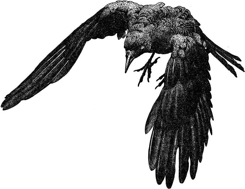 american_crow_large.jpg