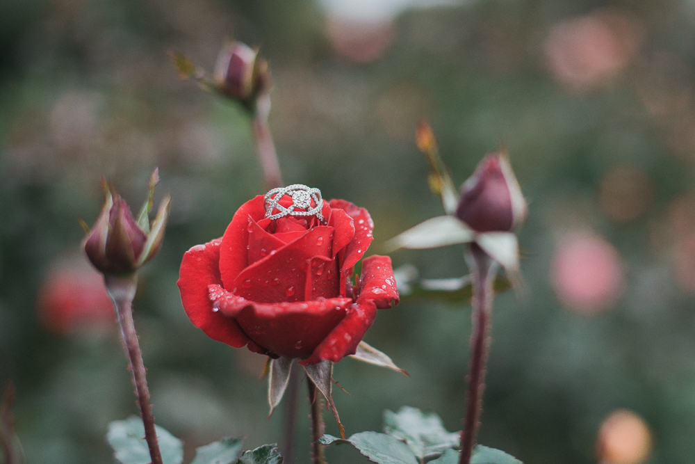 engagement ring on a red rose
