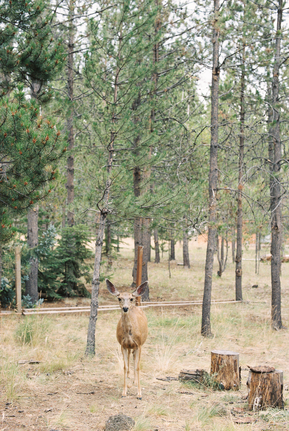 Mama Deer, Sunriver, Oregon - Portra 400 on Nikon N90s