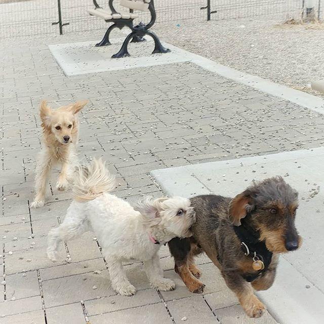 Munchkins at play! #delight_pets  #dogsofinstagram  #funpetloveclub  #dogscorner  #dogdailyfeaturesss  #inspiredbypets  #thebeaches #petbox  #dogsandpals  #torontolife #dogs  #petstagram  #instadog  #petsagram  #doglover  #dogs_of_instagram  #instagramdogs  #dogoftheday  #instapuppy  #dogstagram  #torontodogwalker  #wirehaireddachund