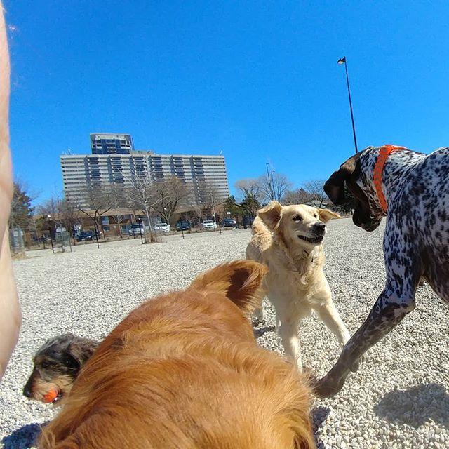 Happy chaos!  #delight_pets  #dogsofinstagram  #funpetloveclub  #dogscorner  #dogdailyfeaturesss  #inspiredbypets  #thebeaches #petbox  #dogsandpals  #torontolife #dogs  #petstagram  #instadog  #petsagram  #doglover  #dogs_of_instagram  #instagramdogs  #dogoftheday  #instapuppy  #dogstagram  #torontodogwalker  #germanshorthairedpointer #wirehaireddachund #cavapoo