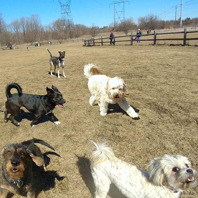 Everyone enjoying their first trip back to Thompson Park in a while! #delight_pets  #dogsofinstagram  #funpetloveclub  #dogscorner  #dogdailyfeaturesss  #inspiredbypets  #thebeaches #petbox  #dogsandpals  #torontolife #dogs  #petstagram  #instadog  #petsagram  #doglover  #dogs_of_instagram  #instagramdogs  #dogoftheday  #instapuppy  #dogstagram  #torontodogwalker  #wirehaireddachund