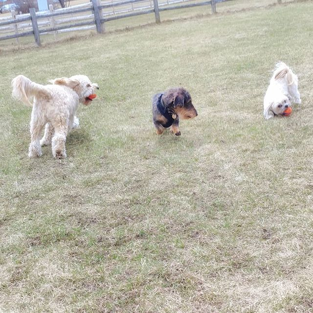 Doggy in the middle. Nelson isn't a fan! #delight_pets  #dogsofinstagram  #funpetloveclub  #dogscorner  #dogdailyfeaturesss  #inspiredbypets  #thebeaches #petbox  #dogsandpals  #torontolife #dogs  #petstagram  #instadog  #petsagram  #doglover  #dogs_of_instagram  #instagramdogs  #dogoftheday  #instapuppy  #dogstagram  #torontodogwalker  #wirehaireddachund #cavapoo