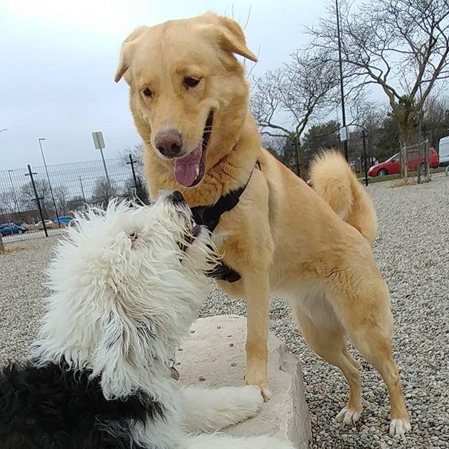 Cici loves new playmate Sunny! #delight_pets  #dogsofinstagram  #funpetloveclub  #dogscorner  #dogdailyfeaturesss  #inspiredbypets  #thebeaches #petbox  #dogsandpals  #torontolife #dogs  #petstagram  #instadog  #petsagram  #doglover  #dogs_of_instagram  #instagramdogs  #dogoftheday  #instapuppy  #dogstagram  #torontodogwalker