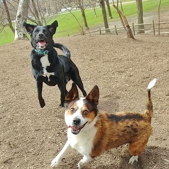 Can't believe my little rocket Henry is 7! His energy is still puppy like. Love ya bud! #delight_pets  #dogsofinstagram  #funpetloveclub  #dogscorner  #dogdailyfeaturesss  #inspiredbypets  #thebeaches #petbox  #dogsandpals  #torontolife #dogs  #petstagram  #instadog  #petsagram  #doglover  #dogs_of_instagram  #instagramdogs  #dogoftheday  #instapuppy  #dogstagram  #torontodogwalker  #jackrussellterrier #blacklab #novascotiaducktoller #bichonfrise