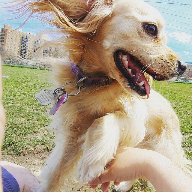 Maggie May having a blast! #delight_pets  #dogsofinstagram  #funpetloveclub  #dogscorner  #dogdailyfeaturesss  #inspiredbypets  #thebeaches #petbox  #dogsandpals  #torontolife #dogs  #petstagram  #instadog  #petsagram  #doglover  #dogs_of_instagram  #instagramdogs  #dogoftheday  #instapuppy  #dogstagram  #torontodogwalker