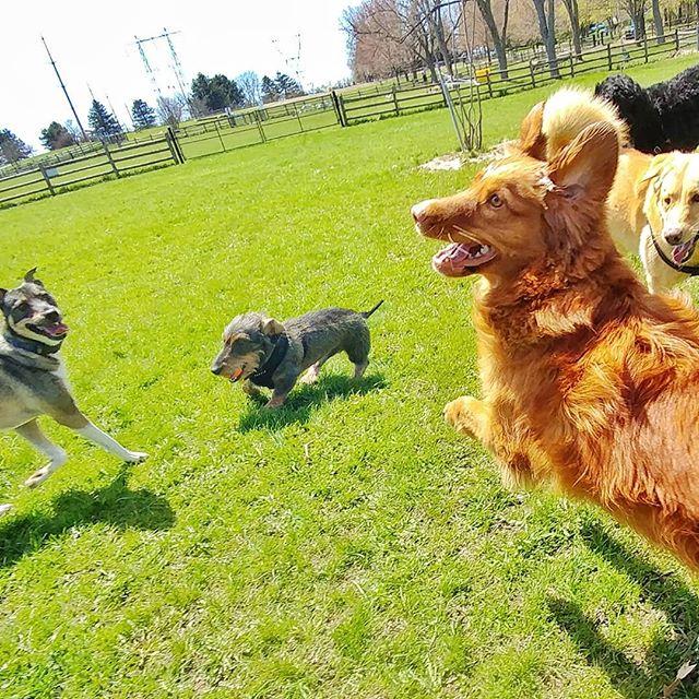 Oh, sunny days! #delight_pets  #dogsofinstagram  #funpetloveclub  #dogscorner  #dogdailyfeaturesss  #inspiredbypets  #thebeaches #petbox  #dogsandpals  #torontolife #dogs  #petstagram  #instadog  #petsagram  #doglover  #dogs_of_instagram  #instagramdogs  #dogoftheday  #instapuppy  #dogstagram  #torontodogwalker  #wirehaireddachund #novascotiaducktoller