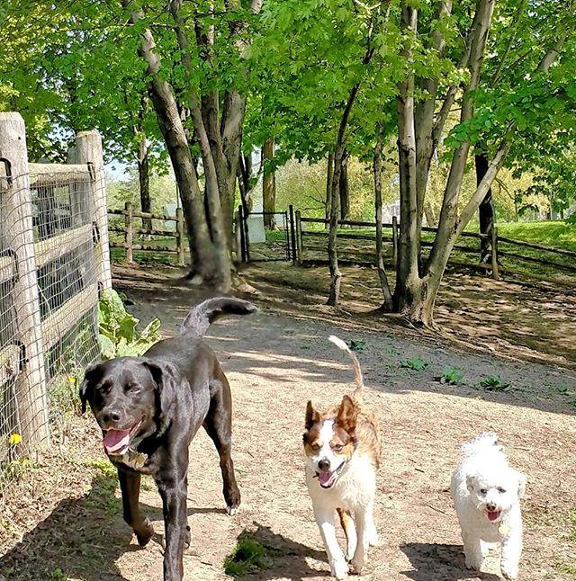 Back at the park and loving it! #delight_pets  #dogsofinstagram  #funpetloveclub  #dogscorner  #dogdailyfeaturesss  #inspiredbypets  #thebeaches #petbox  #dogsandpals  #torontolife #dogs  #petstagram  #instadog  #petsagram  #doglover  #dogs_of_instagram  #instagramdogs  #dogoftheday  #instapuppy  #dogstagram  #torontodogwalker  #blacklab #bichonfrise #jackrussellterrier