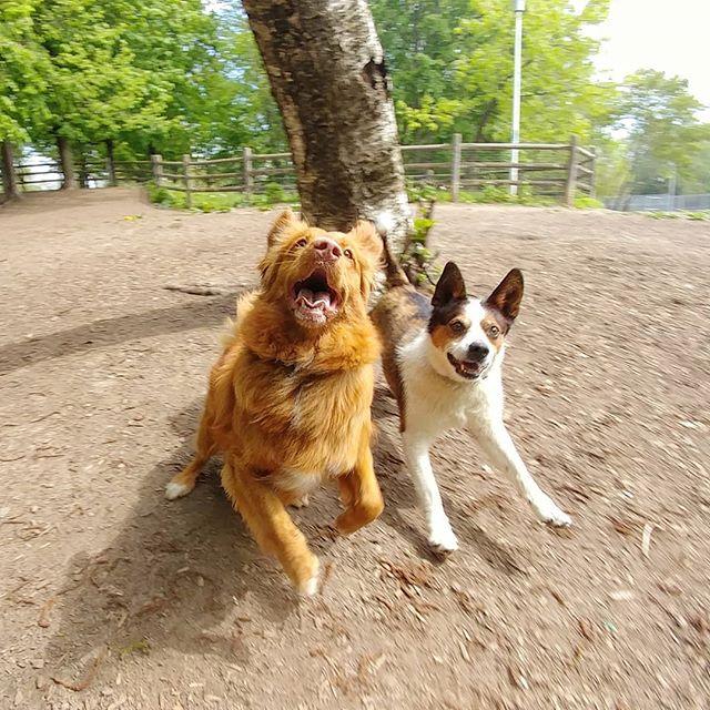 On the move!! #delight_pets  #dogsofinstagram  #funpetloveclub  #dogscorner  #dogdailyfeaturesss  #inspiredbypets  #thebeaches #petbox  #dogsandpals  #torontolife #dogs  #petstagram  #instadog  #petsagram  #doglover  #dogs_of_instagram  #instagramdogs  #dogoftheday  #instapuppy  #dogstagram  #torontodogwalker  #novascotiaducktoller #jackrussellterrier