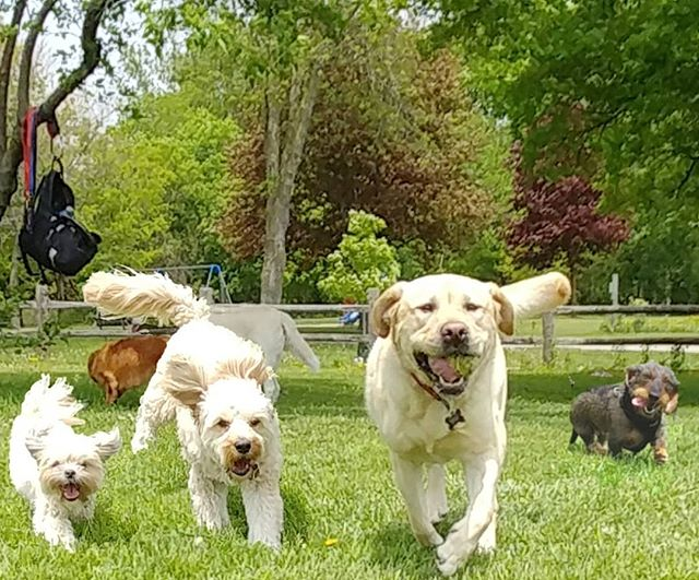 Loving the sunny weather! #delight_pets  #dogsofinstagram  #funpetloveclub  #dogscorner  #dogdailyfeaturesss  #inspiredbypets  #thebeaches #petbox  #dogsandpals  #torontolife #dogs  #petstagram  #instadog  #petsagram  #doglover  #dogs_of_instagram  #instagramdogs  #dogoftheday  #instapuppy  #dogstagram  #torontodogwalker  #goldenlab #wirehaireddachund