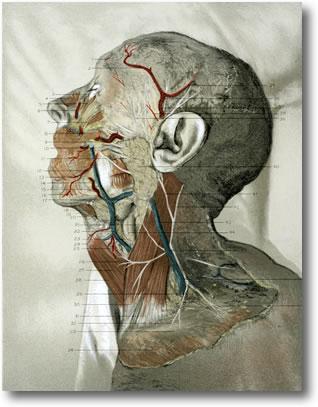 McClellans_Regional_Anatomy_1892.jpg
