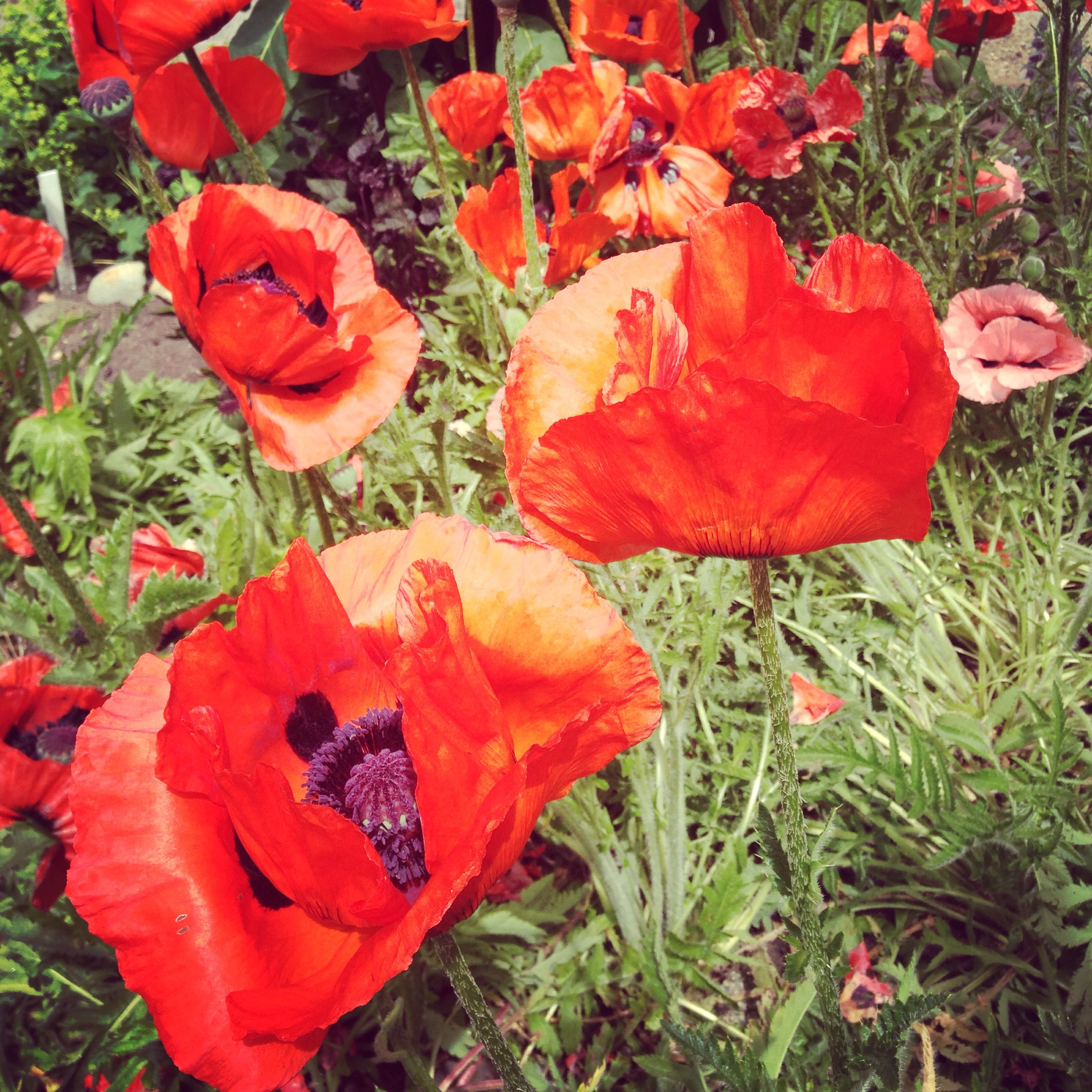 Poppies in Seattle