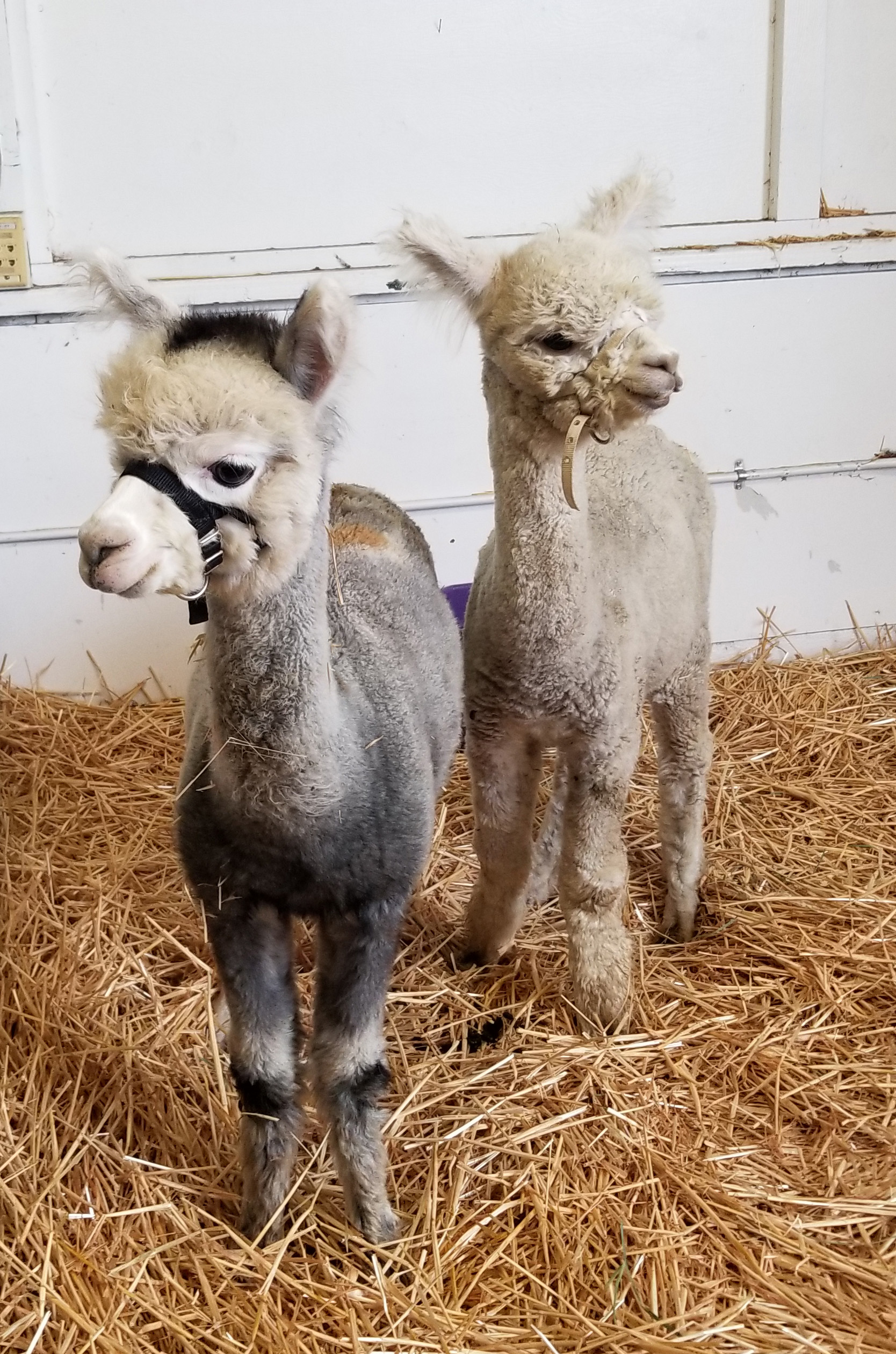 Young Huacaya alpaca, they have a shorter, denser fiber that is crimped and teddy bear–like.