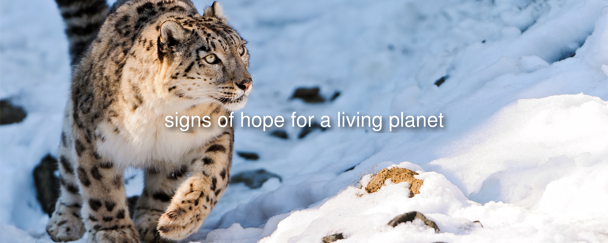 Snow leopard in Southern China (Image credit: Tambako/Flickr