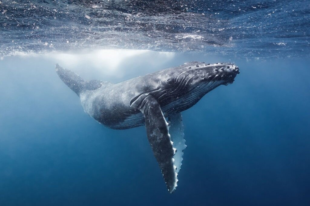 grant-thomas-humpback-04_1024x1024.jpg