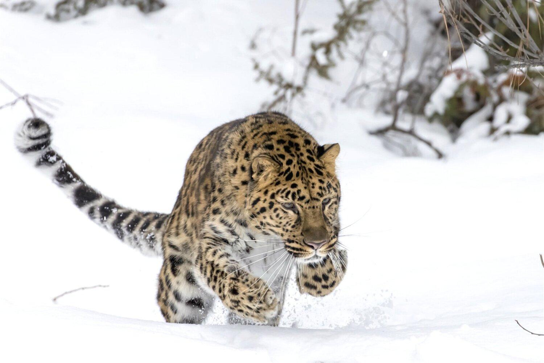 An Amur Leopard mid hunt.  Image credit:   Alamay