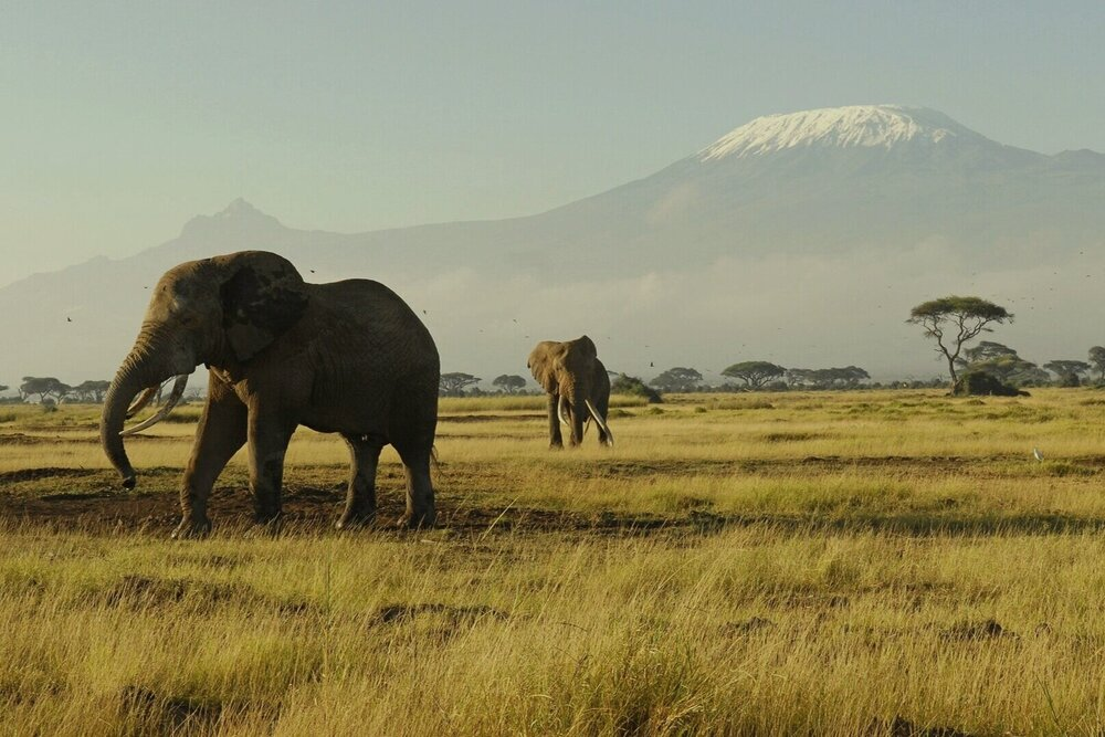Elephants wander against the backdrop of Mount Kilimanjaro in Kenya's iconic Ambesoli Park, where almost 140 baby elephants were born in 2020 . Safari Desire