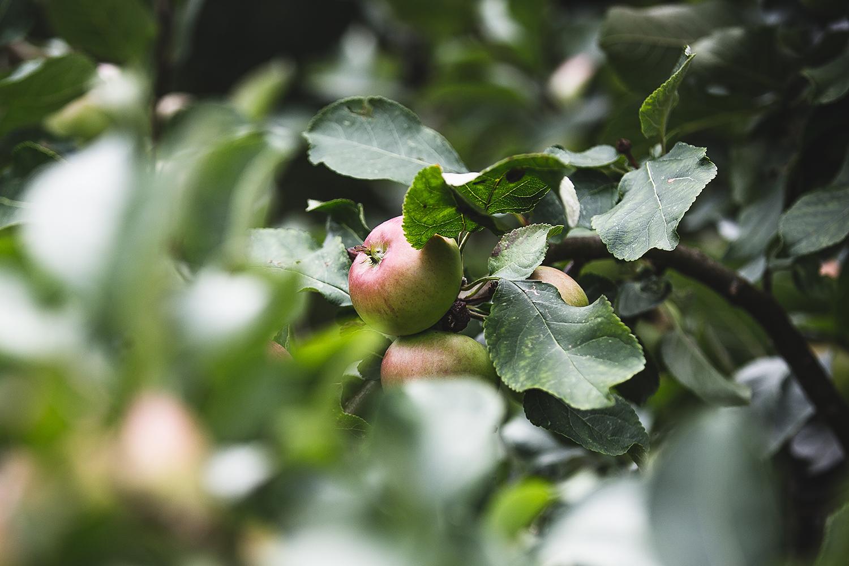 Apples 1500 V3.jpg