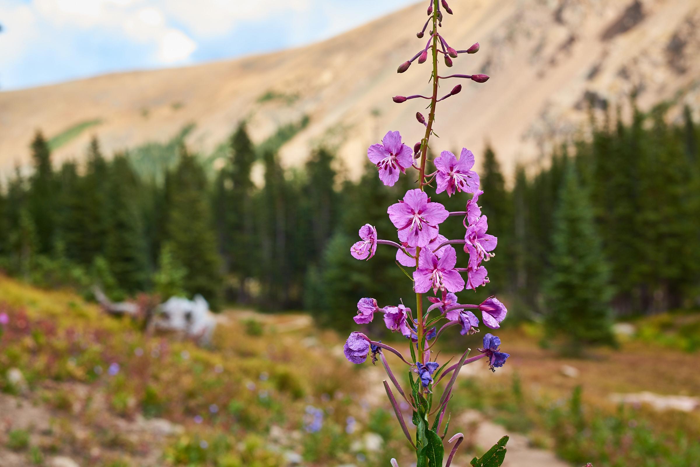 Flowers @ Rogers Peak Lake