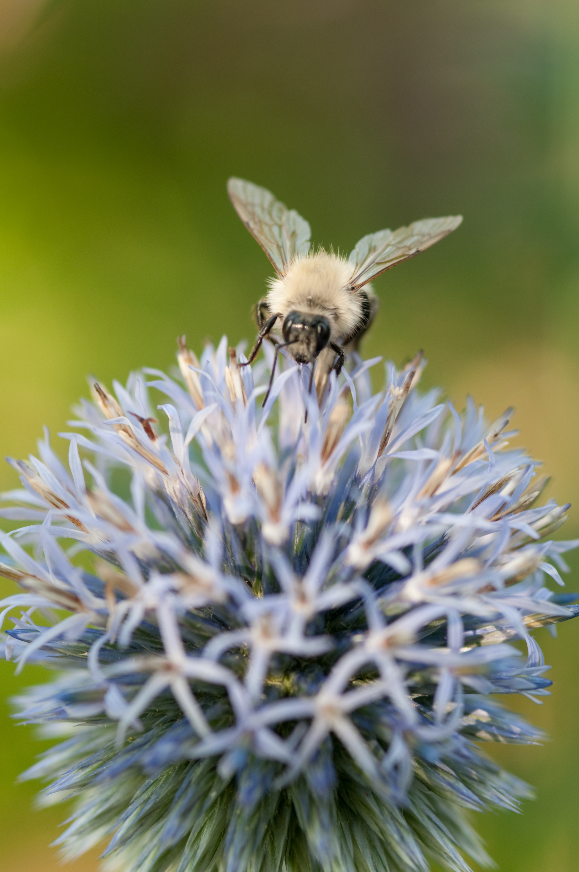 Photo Credit Edwin Remsberg (the author does not profess that the bee pictured is a rusty patch bumble bee)
