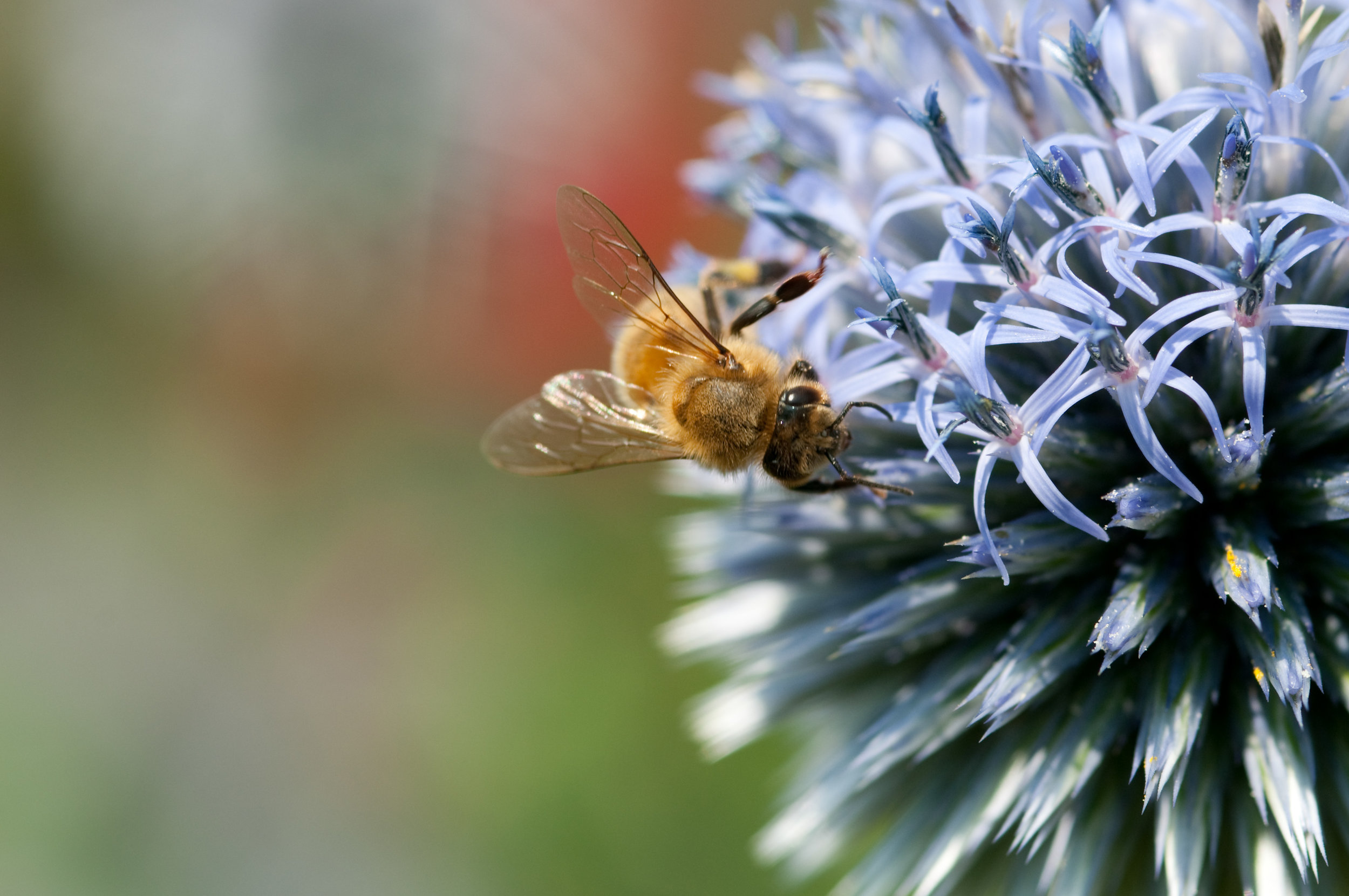 Photo Credit- Edwin Remsberg (just a bee pictured above not necessarily the rusty patch bumblebee)