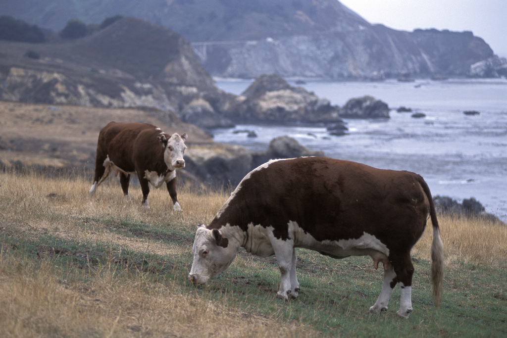 The photo is by Edwin Remsberg. It displays cows grazing in front of cliffs.