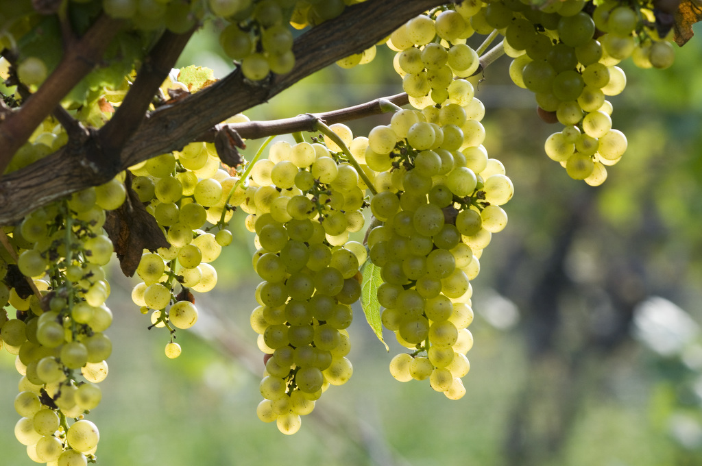 Image by Edwin Remsberg. The photo shows grapes growing from a tree in a vineyard.