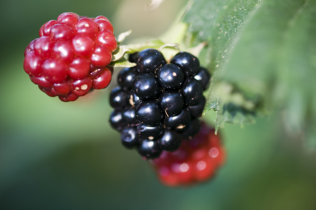 Photo by Edwin Remsberg. The photo shows blackberries growing on a branch.