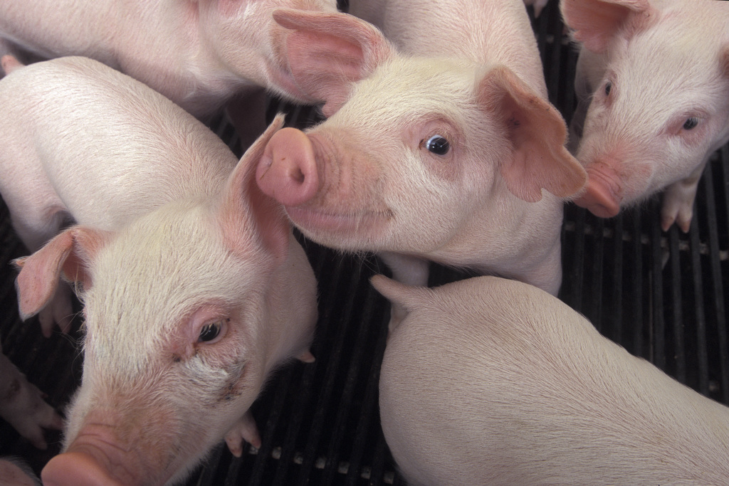 Photo by Edwin Remsberg. The image displays piglets curiously looking at the camera.