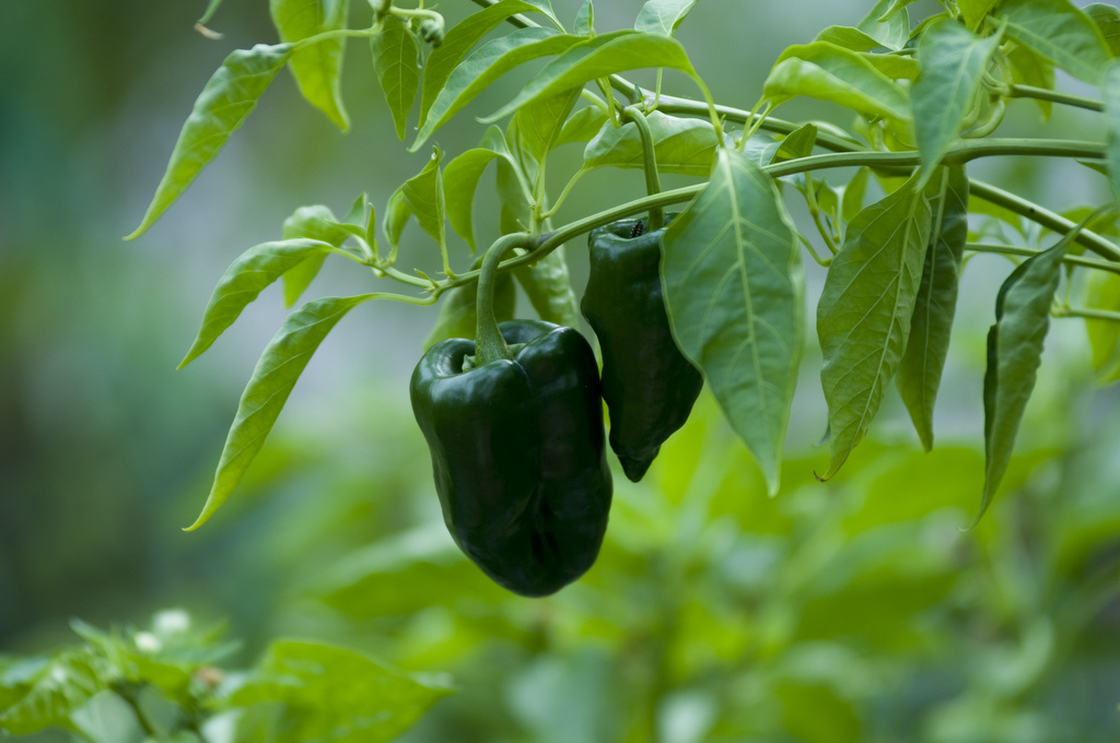 Image by Edwin Remsberg. It shows green peppers growing from a branch.