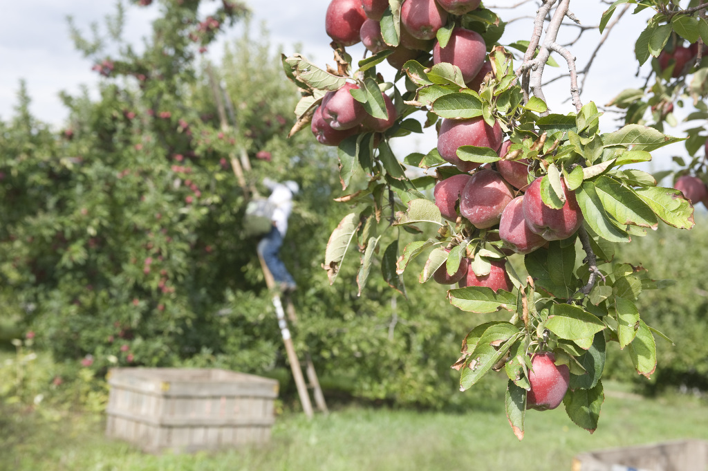 The image is by Edwin Remsberg. It shows apple trees with a man picking them from a tree.