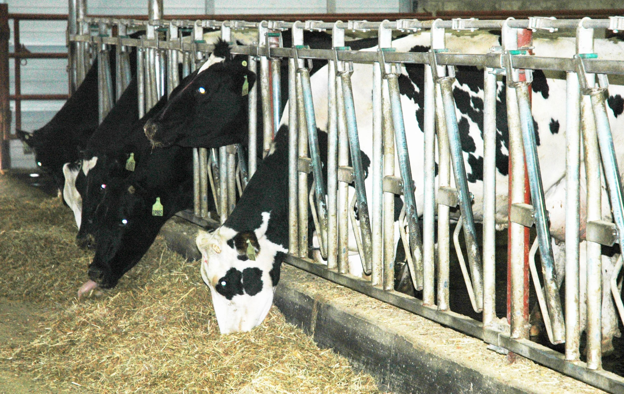 Dairy cows being fed feed in a barn.  Image by Texas Agrilife Extension