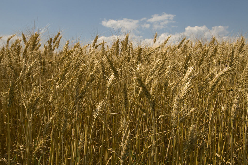 Image of wheat in the field ready to harvest by Edwin Remsberg