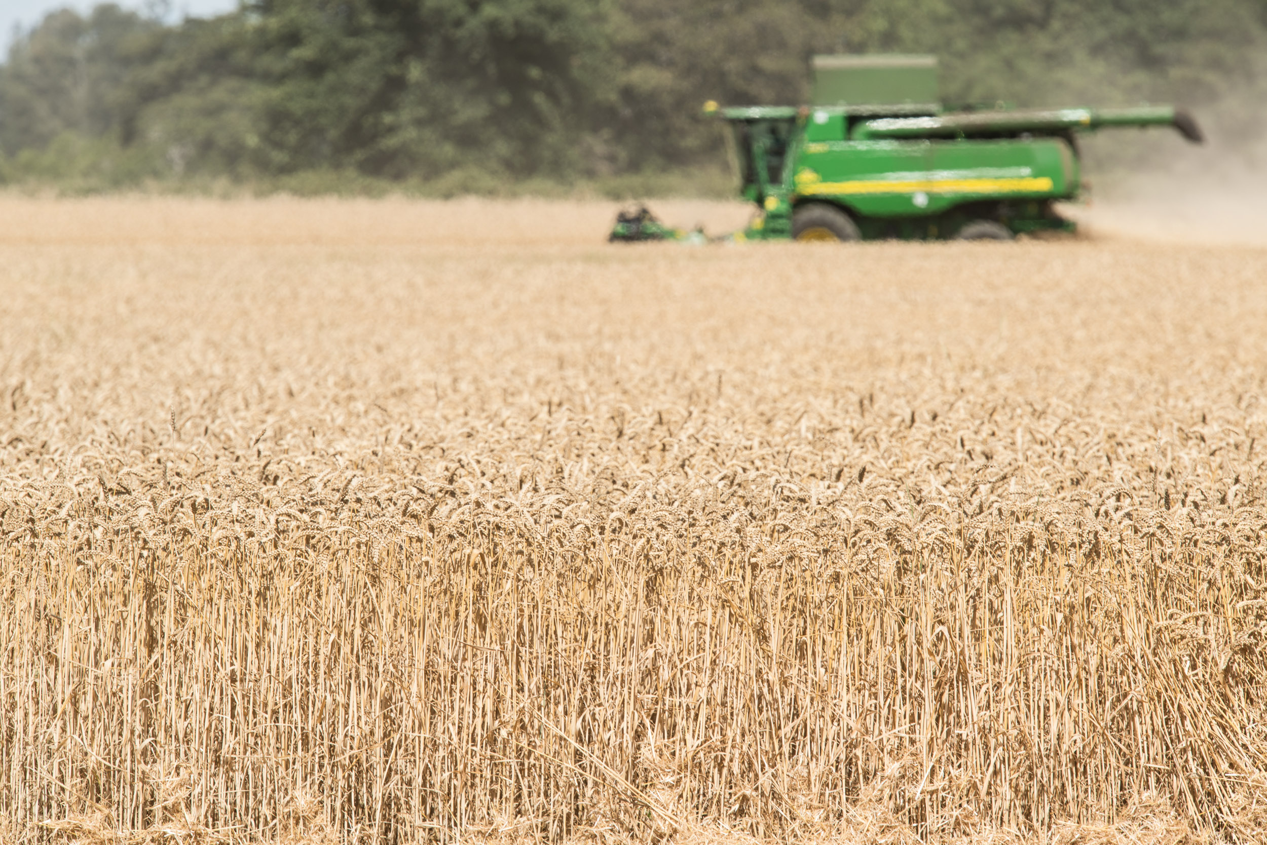 Image of wheat being harvested by combine. Image by Edwin Remsberg