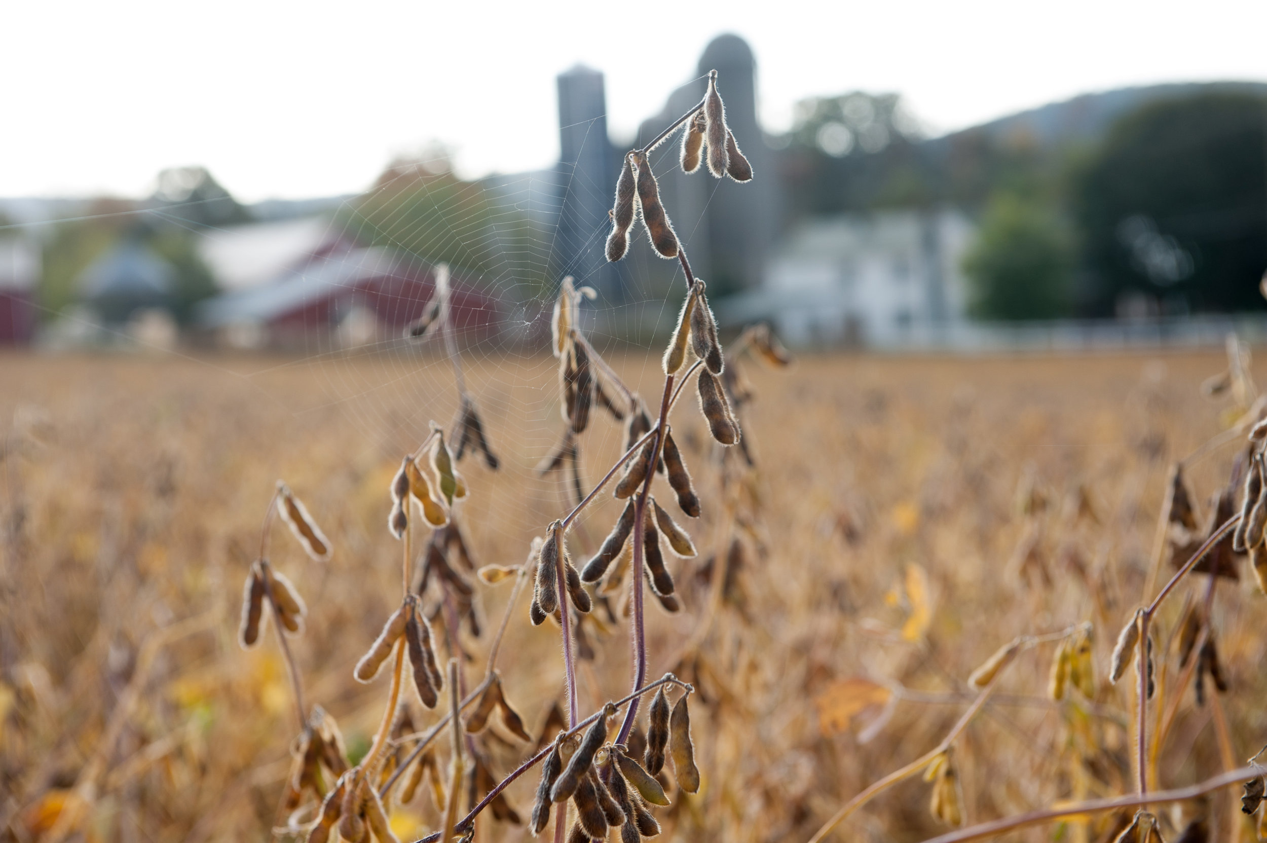 Image of soybean plant in field.  Image by Edwin Remsberg