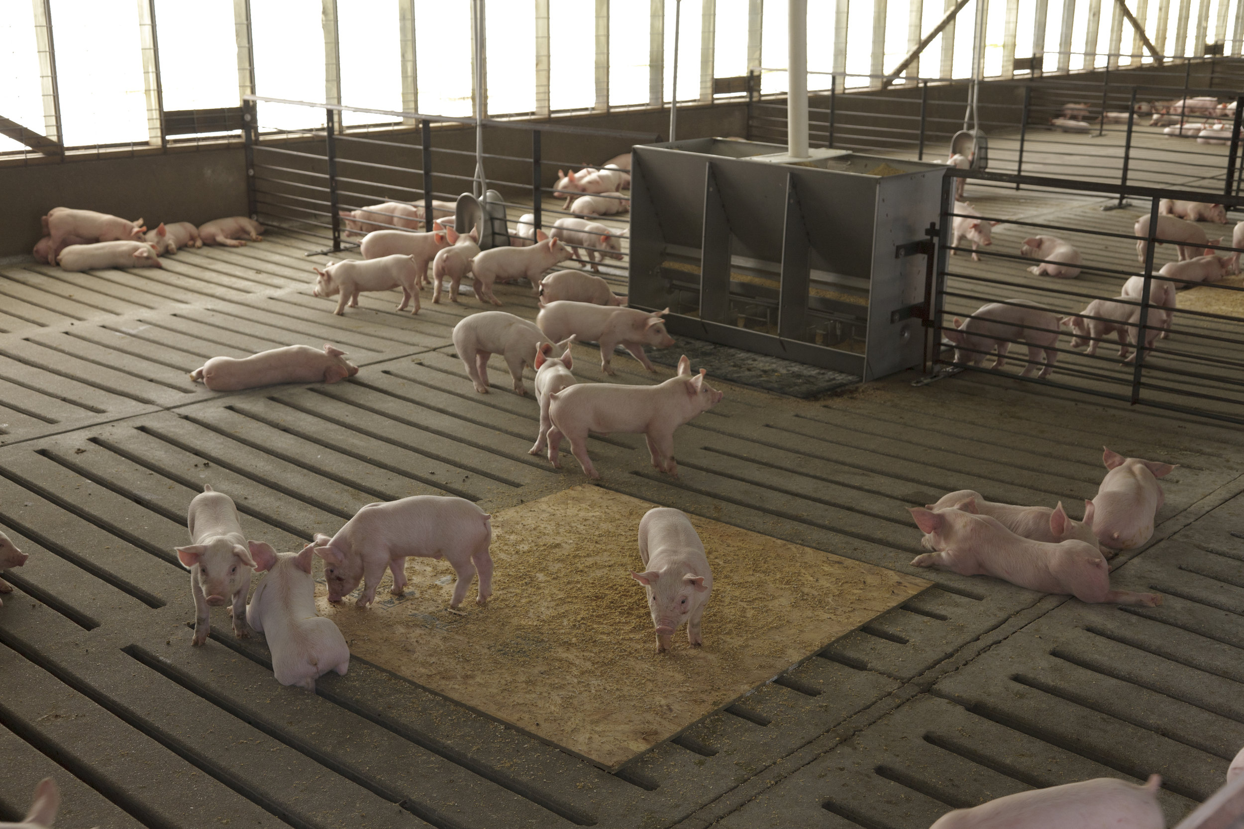 Young hogs in confined hog farm. Image by United Soybean Board via flickr.com