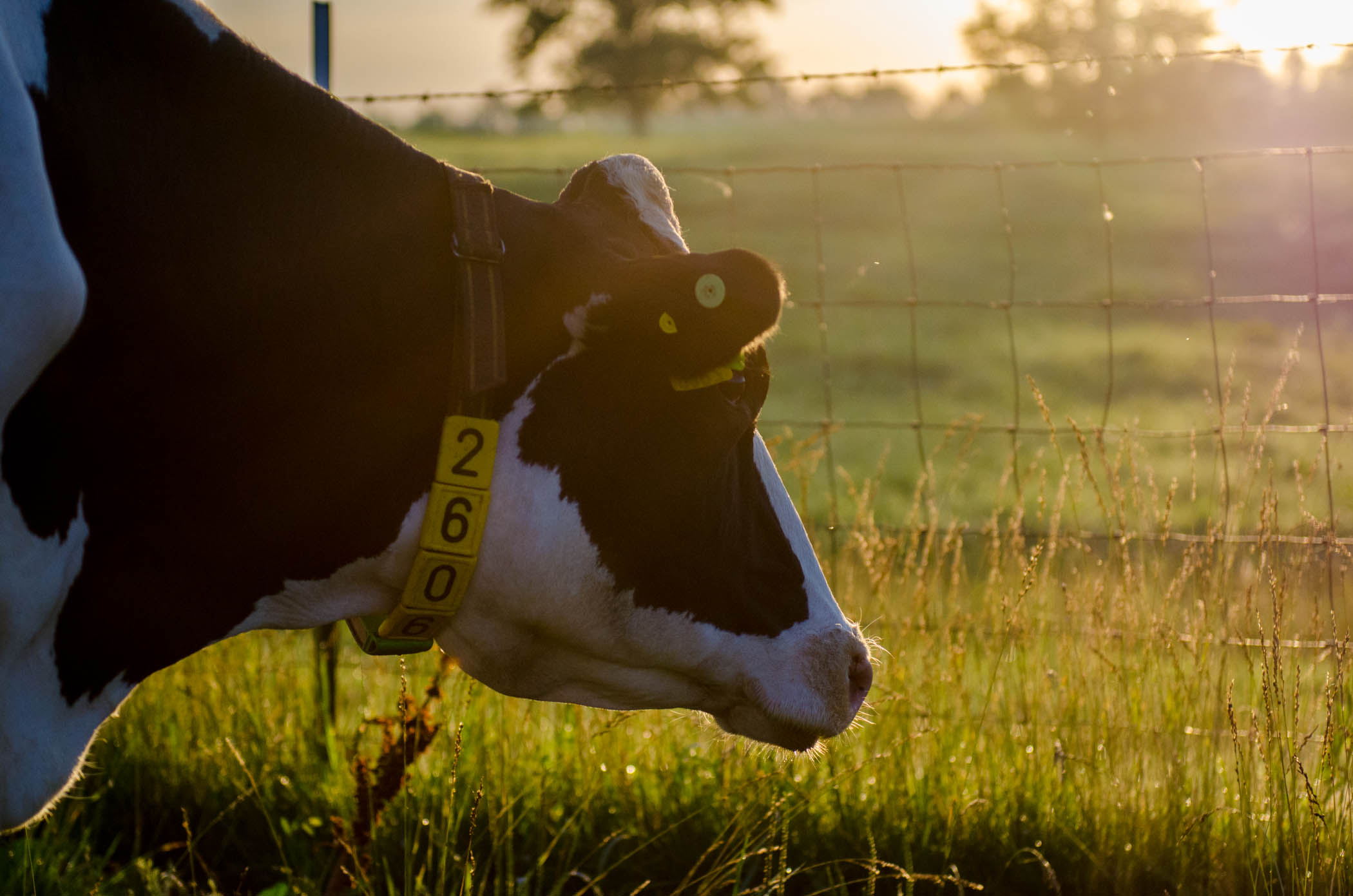 Image by the University of Missouri College of Agriculture Food and Natural Resources.  Image of a dairy cow at Foremost Dairy Center in Missouri.  No images in this post will be of marijuana production.