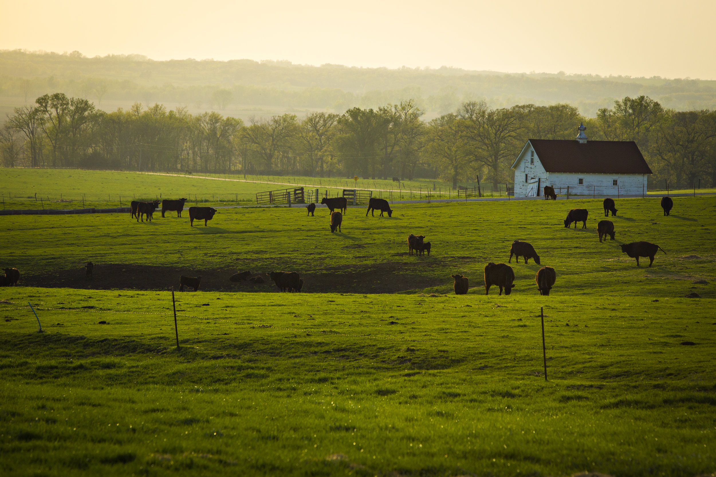 Image by University of Missouri College of Agriculture, Food and Natural Resources.  Image is of cattle grazing in field on University of Missouri Thomspon Research Center.