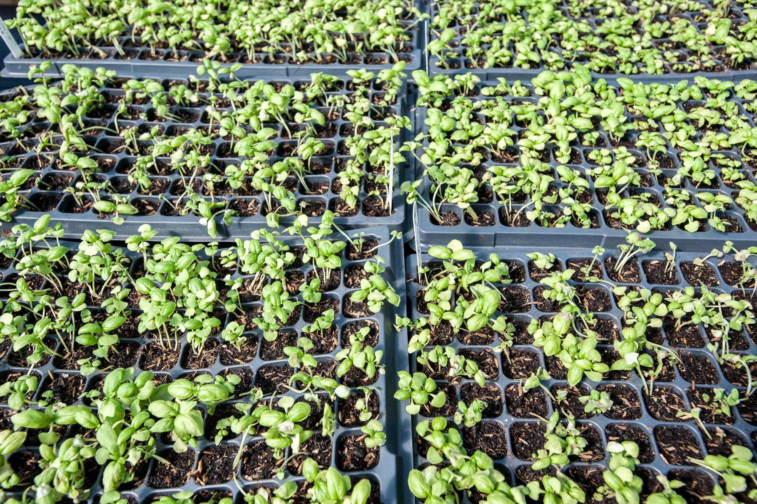 Photo Credit Edwin Remsberg. Image of seeds sprouting at Terp Farm at Upper Marlboro Central Maryland Research and Education Center.