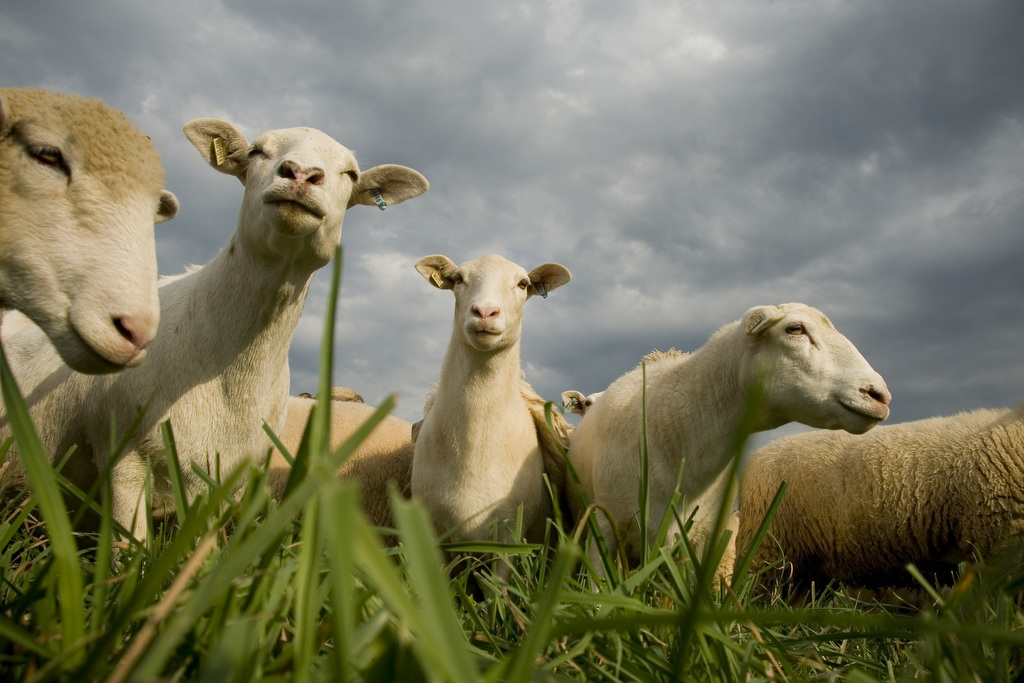 In the photo, sheep stand in a group grazing. The image is by Edwin Remsberg.