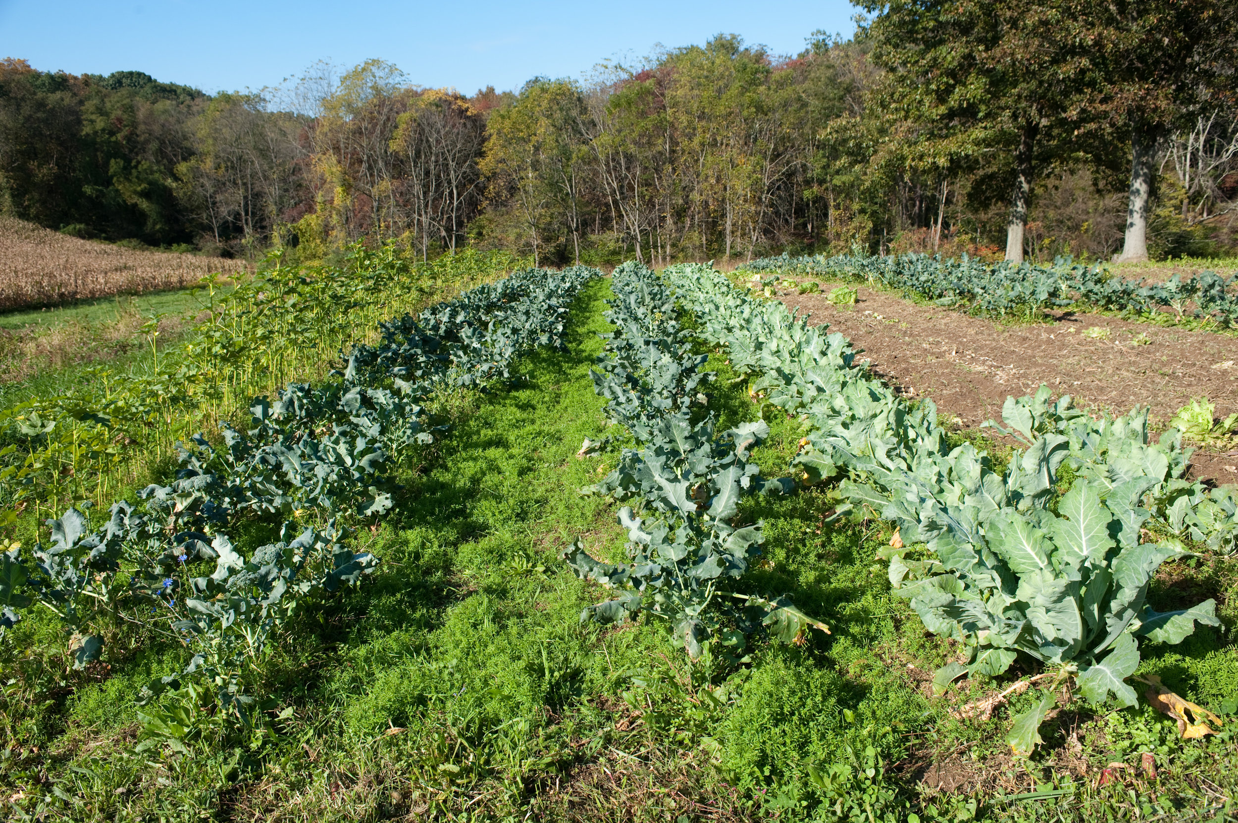 This image shows vegetables growing on a Maryland farm.  Photo by Edwin Remsberg.
