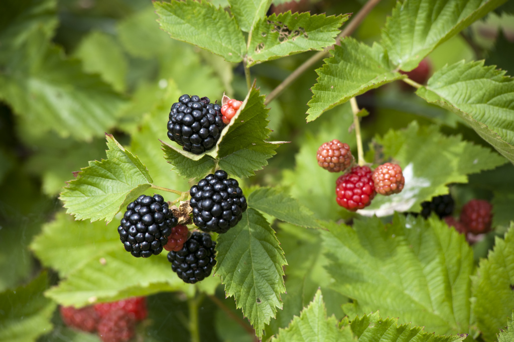 The image shows black berries growing on a bush. Photo by Edwin Remsberg.
