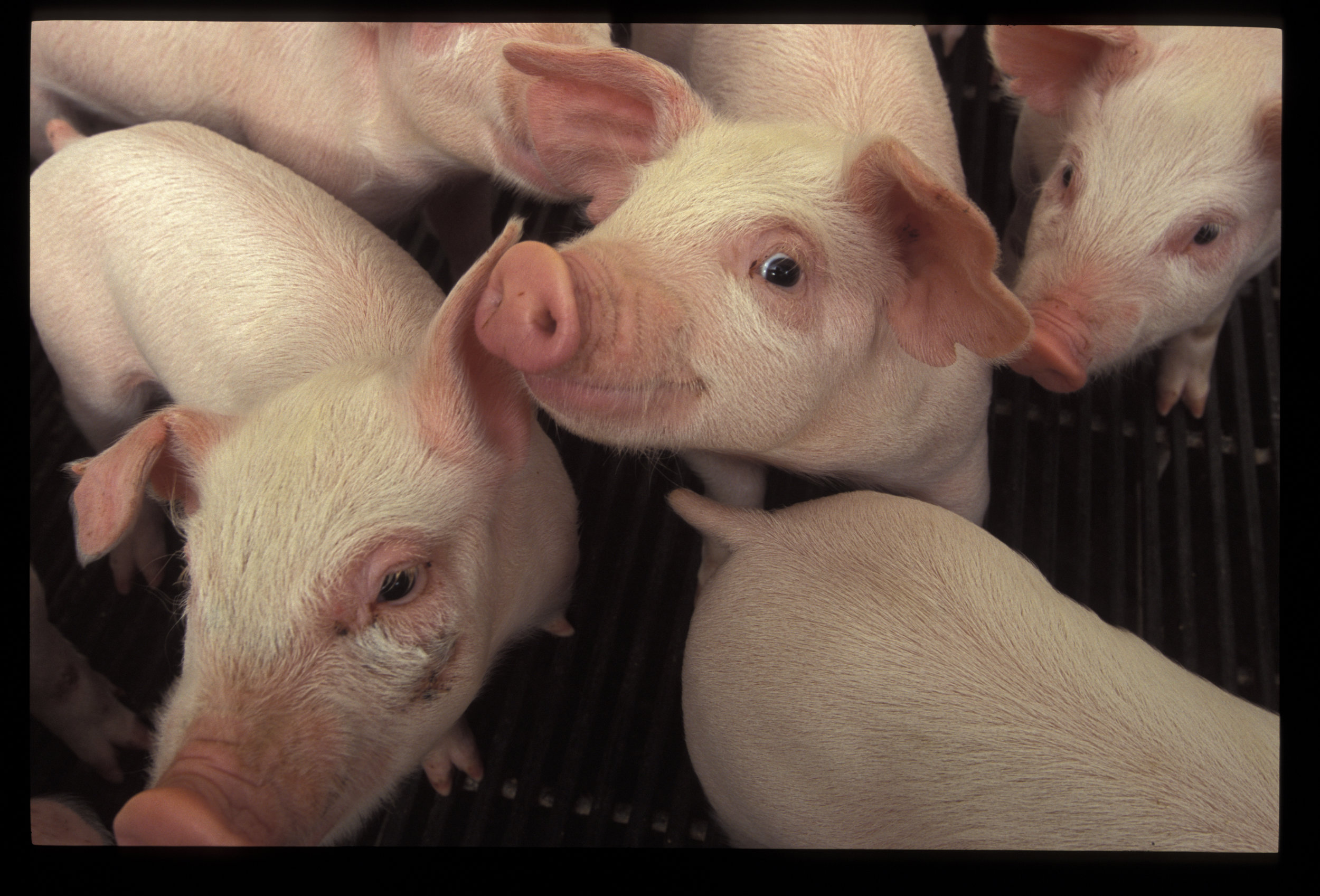 Picture of pigs on a Maryland farm. Photo credit Edwin Remsberg.