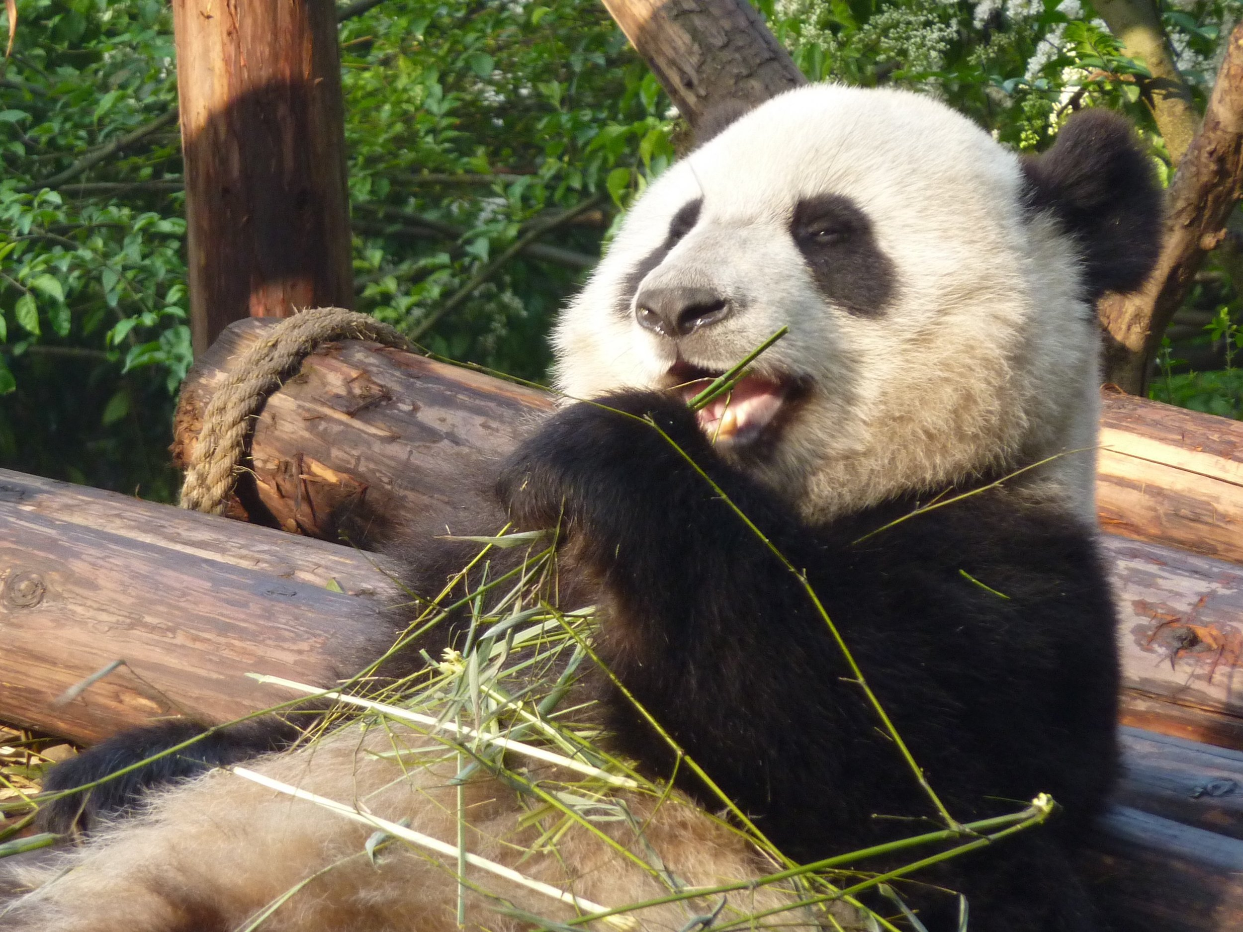 Image by Ms. Jackson via Flickr.com.  Image shows panda eating bamboo.