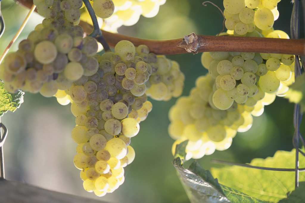 Clusters of grapes hanging from a tree branch are show in this image taken by Edwin Remsberg.