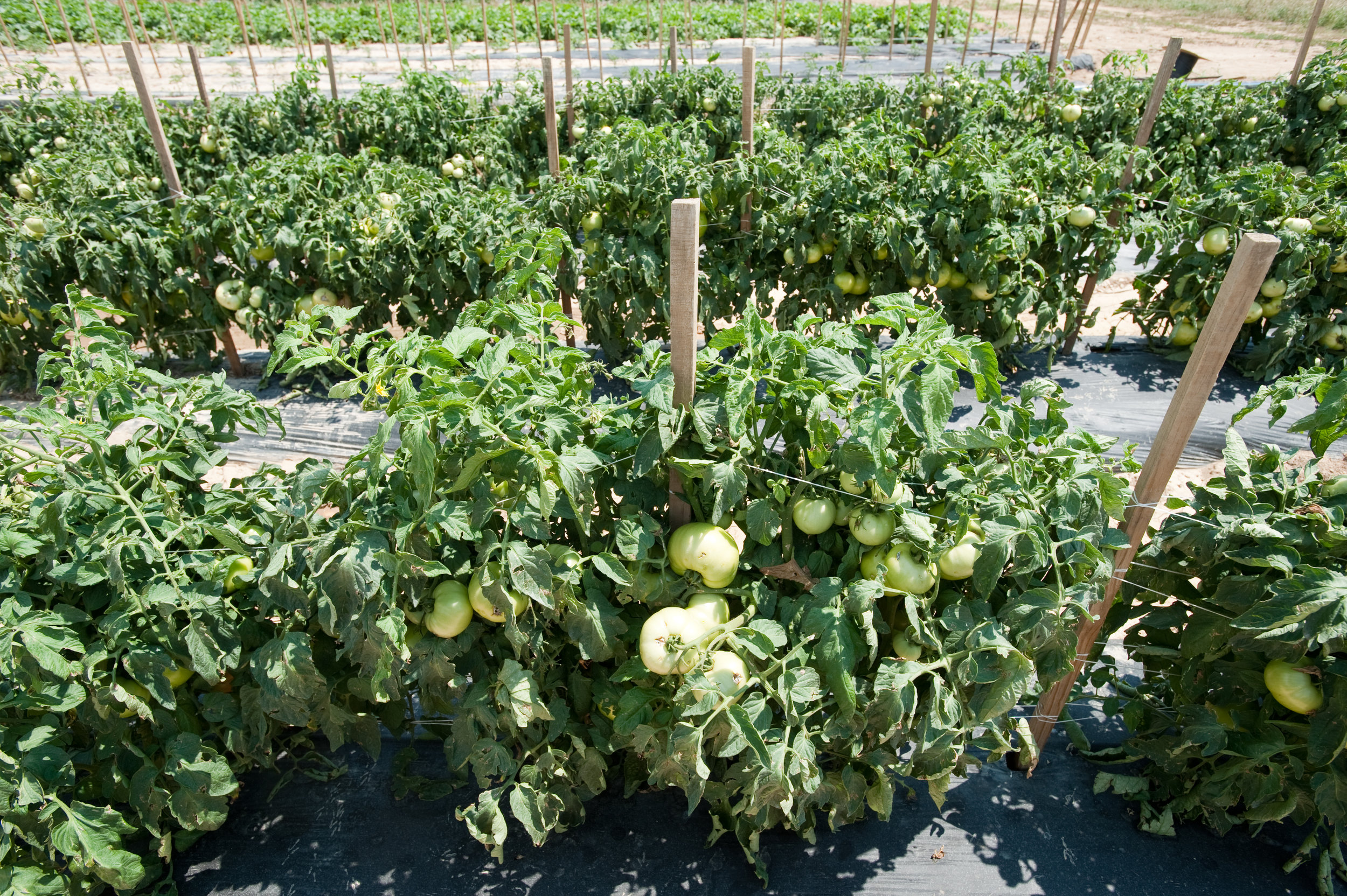 Image by Edwin Remsberg. Image shows green tomatoes growing on the vine.