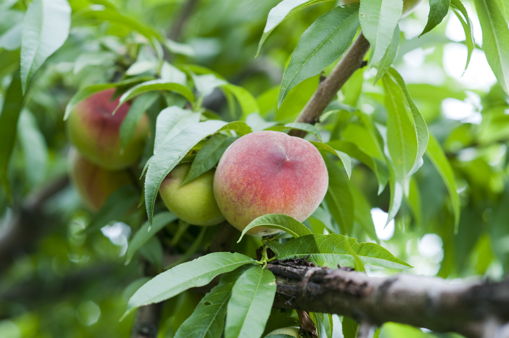 Peaches are shown growing on a tree limb at Godfrey's Farm. The photo was taken by Edwin Remsberg.