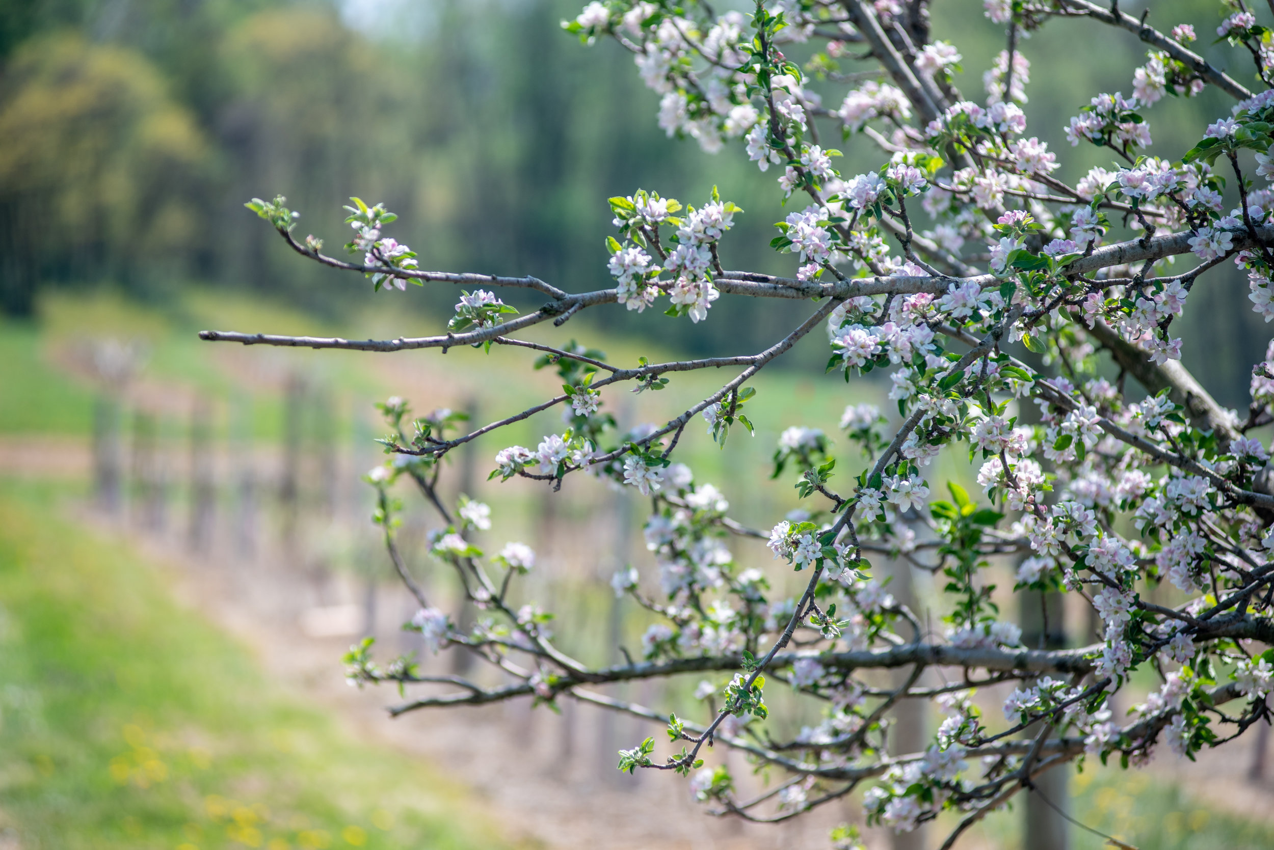 Image of apple trees at the Western Maryland Research Center. Photo Credit Edwin Remsberg